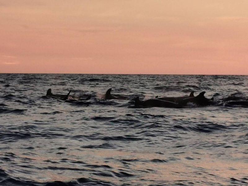 วาฬเพชฌฆาตดำ ทะเล ธรรมชาติ อุทยาน